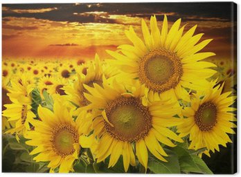 Canvas Print sunflowers on a field and sunset