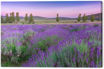 Canvas Print Sunset over a summer lavender field in Tihany, Hungary