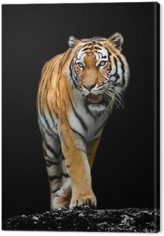 Canvas Print Tiger on black background