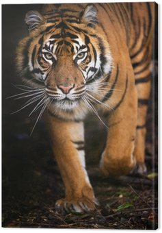 Canvas Print Tiger Walking out of Shadow