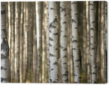 Canvas Print trunks of birch trees