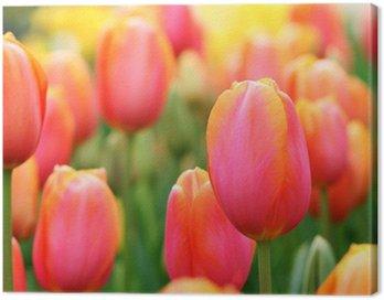 Tulips close-up Canvas Print