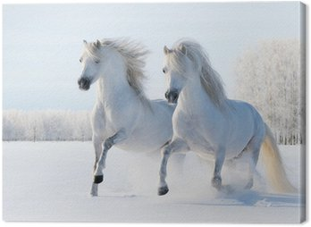 Two white horses gallop on snow field