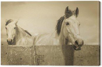 Canvas Print two white horses