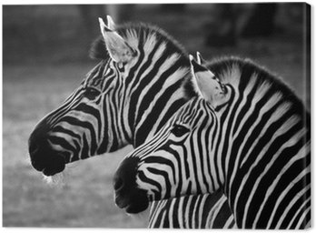 Canvas Print two zebra