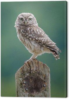 UK Wild Little Owl Canvas Print