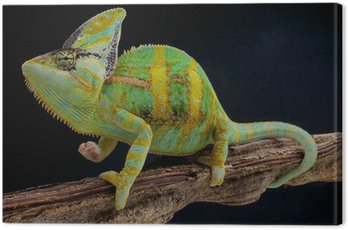 Veiled chameleon / Chamaeleo calyptratus Canvas Print