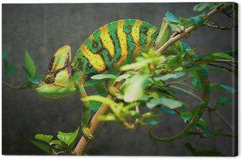 Veiled chameleon Canvas Print