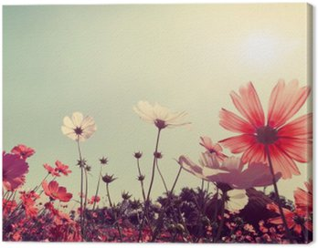 Vintage landscape nature background of beautiful cosmos flower field on sky with sunlight. retro color tone filter effect
