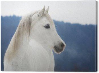 Weiße Vollblut Araber Stute im Schnee