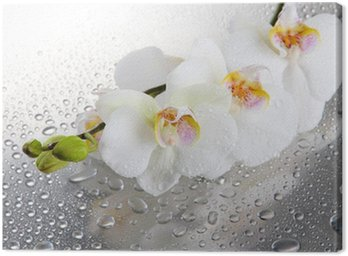 Canvas Print white beautiful orchids with drops