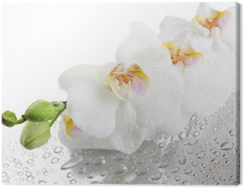 white beautiful orchids with drops Canvas Print