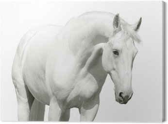 Canvas Print white horse high key
