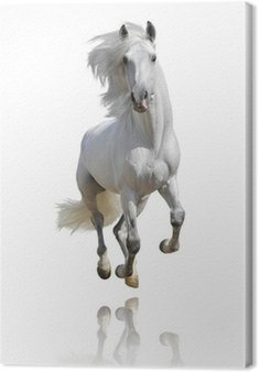 Canvas Print white horse isolated