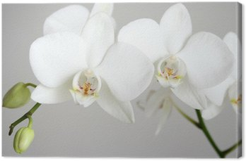white orchid Canvas Print