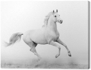 Canvas Print white stallion