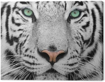 Canvas Print white tiger
