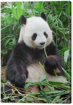 Wild panda Canvas Print