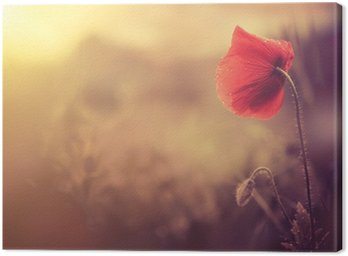 Canvas Print wild poppy flower