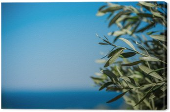 Young green olives hang on branches Canvas Print