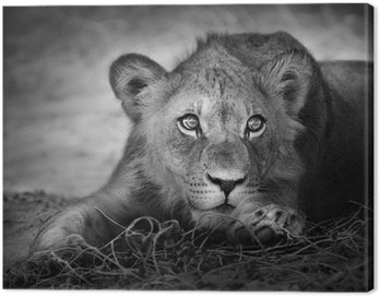 Young lion portrait Canvas Print