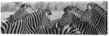 Canvas Print Zebra herd in black and white photo with heads together