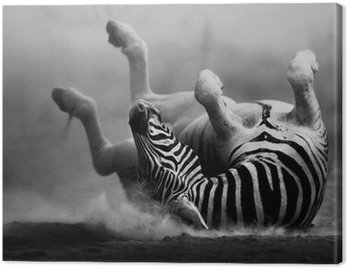 Canvas Print Zebra rolling in the dust