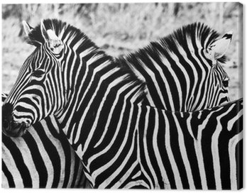 Canvas Print Zebras in Kruger National Park, South Africa