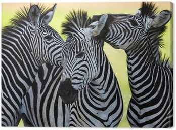 Canvas Print Zebras kissing and huddling