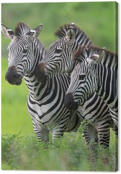 Canvas Print Zebras together