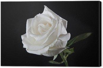 Canvas White Rose
