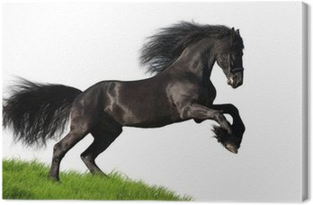 Canvas Zwarte Friese paard galoppeert op de heuvel