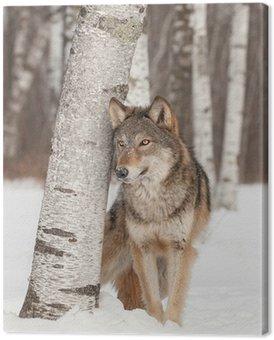 Canvastavla Grå Wolf (Canis lupus) ligger bredvid Birch Tree