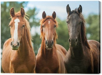 Canvastavla Grupp av tre unga hästar på bete