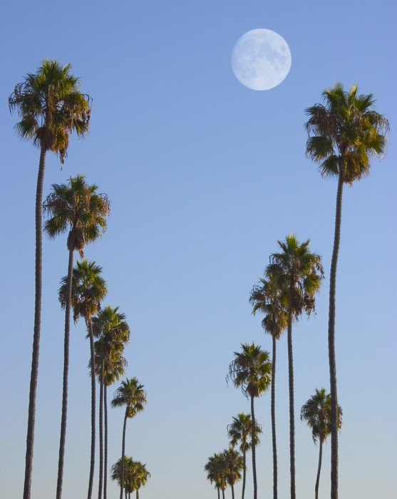 Canvastavla Hollywood paradis - Palmträd