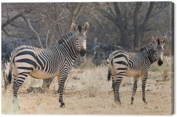 Canvastavla Ko och Kitten - Hartmann Mountain Zebra
