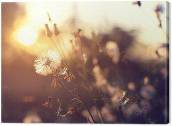 Canvastavla Kväll hösten natur bakgrund, vacker äng maskros blommor i området på orange solnedgång. tappning filtereffekt, selektiv fokuspunkten, kort skärpedjup