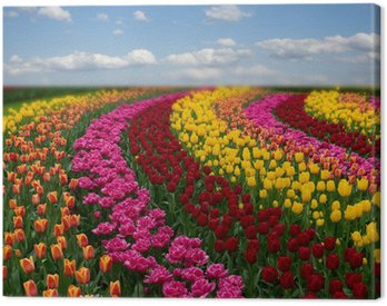 Canvastavla Nederländska färgglada tulpaner fält i solig dag
