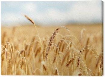 Canvastavla Spannmål fält med spikelets av mogen råg eller vete