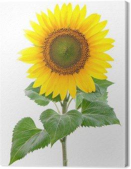 Canvastavla Sunflower. Närbild. Isolerade. Studio