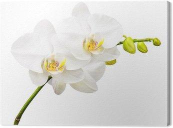 Canvastavla Tre dagar gamla orkidé isolerad på vit bakgrund.