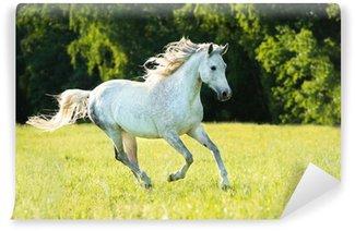 Carta da Parati in Vinile Bianco cavallo arabo corre al galoppo nella luce del tramonto