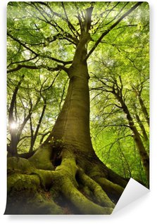 Carta da Parati in Vinile Faggio vecchio albero