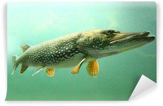 Carta da Parati in Vinile Foto subacquea di un grosso luccio (Esox Lucius).