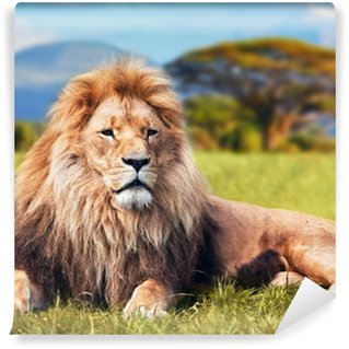 Carta da Parati in Vinile Grande leone sdraiato sulla savana erba. Kenya, Africa