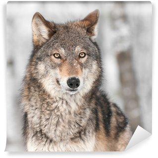 Carta da Parati in Vinile Grey Wolf (Canis lupus), con un orecchio indietro