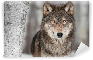 Carta da Parati in Vinile Grey Wolf (Canis lupus) vicino alle Betulla