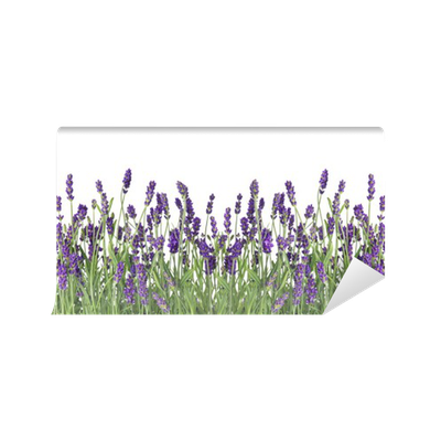 Carta da Parati Lavabile Freschi fiori di lavanda isolato su bianco
