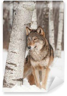 Carta da Parati in Vinile Lupo grigio (Canis lupus) sta accanto a Birch Tree