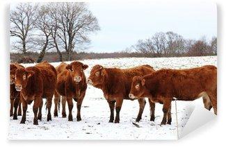 Carta da Parati in Vinile Mucche Limousin in Winter Snow